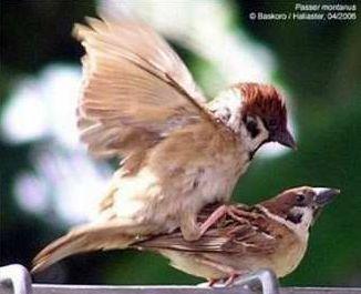 Burung Gereja ~ Kicau Burung Lokal Indonesia