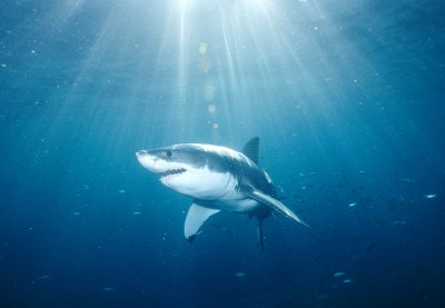 great-white-shark.jpg