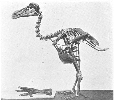 large_extinctanimals_dodo.jpg